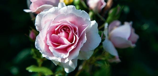 Rosengødning