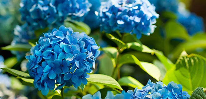 Hortensia blåkur